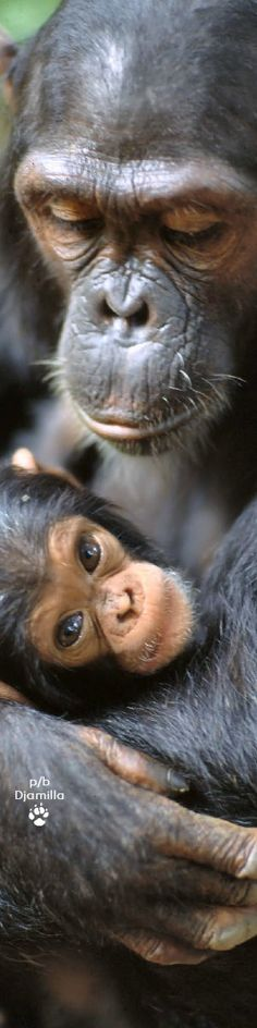 Chimpanzees - Mother Love