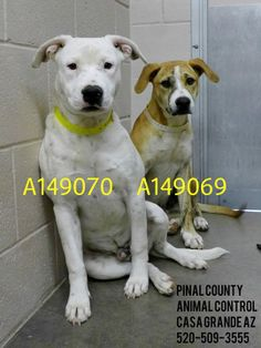 Casa Grande, AZ: SUPER URGENT! LEFT BEHIND as brother was rescued. : (  This DOG - ID#A149069, **STILL NEEDS RESCUE**Status: STRAY WAIT, tan and white 1 yr old, Pit Bull Terrier mix. This DOG - ID#A149070 has been *RESCUED* male, 1 yr old, white Pit Bull Terrier mix. See NEW LINK  with video: https://www.facebook.com/photo.php?v=442321885870091