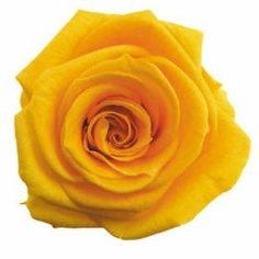 FL0100-17 Standard Rose / Golden Yellow