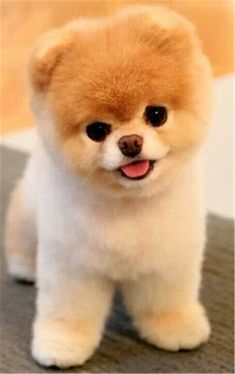 37 Boo the Dog Pics    the Cutest and Most Famous Dog in the World #dogs #boothedog #doglover #pets