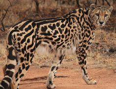The king cheetah is a rare mutation of cheetah that is characterized by this rare (and ultra cool) coat pattern. I think they're awesome.