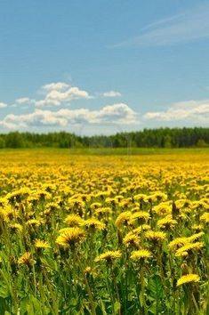 Dandelion field  | Fresh Herbs | Herbalism | Nature Photography