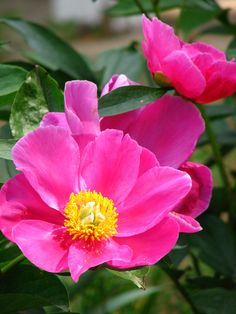 Chinese Lotus Peony 'Dancing Butterfly' (aka 'Fen Yu Nu', 'Little Medicine Man') (Paeonia lactiflora)