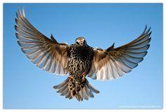 Animals For > Starling In Flight