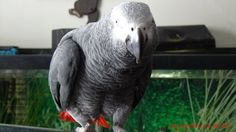 This is Oscar, my African Grey
