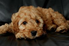 On this page we are looking to complete the whole set of pictures to show all of the colour possibilities in the Cockapoo coat. We would welcome additional pictures from CCGB Members, please go to...
