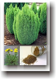 Herbs, Clever, Plant, Herb, Spice