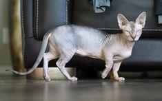 تحميل خلفيات 4k, سفين, القط المنزلي ،, الحيوانات لطيف, القطط, الرمادي سفين, غرفة, المفتوحان القطط