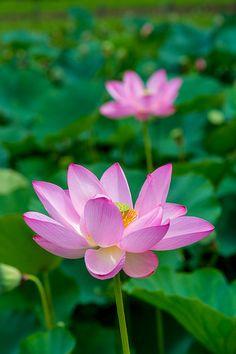 2013 Lotus flowers