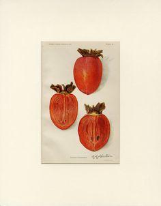"""CAQUI Vintage Art Print """"Ormond caqui"""" 1912 C. Estados Unidos Departamento de…"""