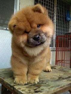 Chow Chow! I will have one some day, just like we had growing up. She was my buddy, miss her!