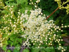 **Filipendula ulmaria  Echtes Mädesüß**  Einheimische Wildpflanze, Gewürzkraut, Heil- und Teepflanze für den Natur-,  Kräuter-, Duft- und Waldgarten, Ufer- und Teichrand, Wildblumen-Wiese. Lockt...