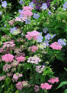 Yarrow & Perennial Geraniums-My Favorite Plant Combinations 45 Garden Shrubs, Garden Plants, Garden Landscaping, Gardening Vegetables, Container Gardening, Beautiful Flowers Garden, Beautiful Gardens, Garden Cottage, Garden Pictures