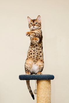 "gangnam style bengal cat  (Just like the kitty--couldn't care less about ""gangnam"" style.)"