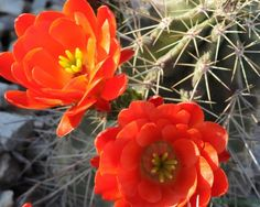 Coral Cacti Flowers Fine Art Print 8 x 10 by CBaltzerPhotography on Etsy $22.00
