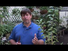 Growing Plum Trees : How to Prune a Plum Tree