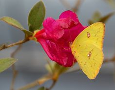 Cloudless Sulphur on Pink Azalea by MickiP65