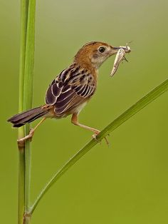 Golden Headed Cisticola (Cisticola exilis)