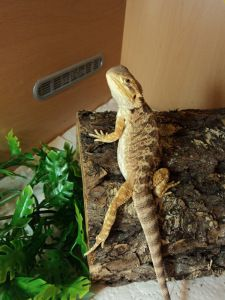 How to tame and handle bearded dragons, as well as read body language. A must-read for new dragon owners!