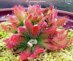 Drosera graomogolensis - Buscar con Google