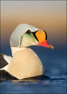 King Eider, Alaska.. may bd one reason to go to alaska... haha these are so coool
