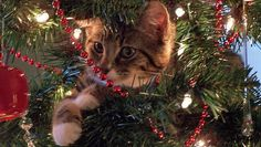 25 cats in, on and under Christmas trees.