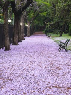 jacarandá in the park It's beautiful, but the blooms smell bad when crushed...