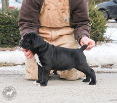 #Cane #Corso #pup