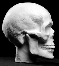 Human Skull Plaster Anatomical Reference Cast ►get Facial Anatomy, Head Anatomy, Anatomy Poses, Anatomy Drawing, Anatomy Art, Human Skull Anatomy, Skull Reference, Anatomy Reference, Anatomy Sculpture
