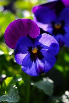Pansy's---love anything blue or purple in my garden!