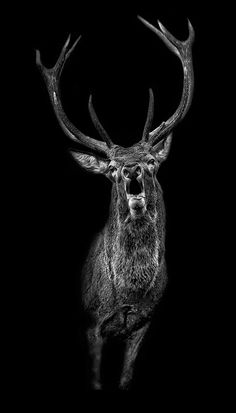 Der Ruf, picture from the series Black Edition by Claudio Gotsch, artist of category FINE WORKS at photo art editions LUMAS Tattoo Henna, Deer Tattoo, Dog Tattoos, Animal Tattoos, Pictures Online, Art Pictures, Hirsch Tattoos, Image Avion, Animal Photography