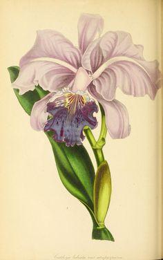 v.7 (1841) - Paxton's magazine of botany, - Biodiversity Heritage Library