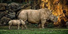 Rinoceronte - Parque de la Naturaleza de #Cabarceno #Cantabria #Spain