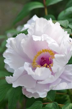 ~~The king of flowers ~ Peony (Paeonia suffruticosa) by xx_chaton_xx~~