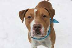 """BUTTERBALL - A1102578 - - Manhattan  TO BE DESTROYED 02/20/17 A volunteer writes: What's golden brown, warm, and delicious? Hmmm, now I'm thinking about apple pie…but also Butterball! Less turkey and more peacock, the first thing one notices about 3 year-old Butterball is hubba hubba! """"Who is THAT handsome boy?"""" a fellow volunteer asks, as I proudly escort Butter along the beginning of our walk. But if Butter is something to stop and stare abou"""
