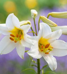 Lily regale 'Album' is the classic garden lily with white trumpet-shaped flowers, with golden centres and a powerful and delicious scent.