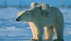 Afbeeldingsresultaat voor polar bear facts