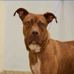 """1/6/17 -THIS IS A PUPPY!!! - TO BE KILLED -WEBSTA @ urgentdogsofmiami - """"MACKIE"""" -This one year old spayed terrier mix needs URGENT networking - please share, repost, tag and PLEDGE to help #SaveMackie.� She has been at #MDAS for so long that her spirit is staring to give up.� She will come when she is called, but she seems sad and defeated.� When she is not being paid attention she curls up and resumes sleep.� She is running out of time at the shelter and �she's in danger of losing he..."""