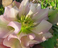 -neuer Gartentraum-#Helleborus