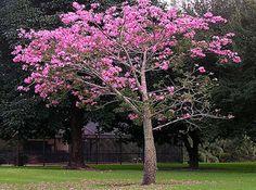 Tabebuia tree tabebuia spp the showy tabebuia tree announces my favorite tree floss silk tree mightylinksfo