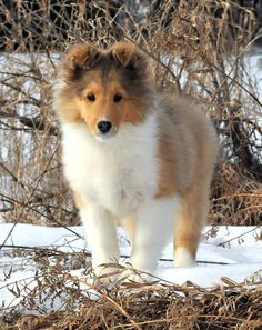 Laureate Shelties