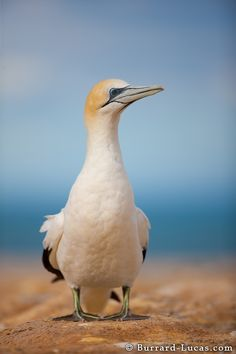 Gannet Portrait  Thanks to Burrard-Lucas http://www.burrard-lucas.com/photo/new_zealand/gannet_portrait.html#