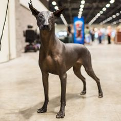 "Carolina Herrera, Xoloitzcuintli (3 y/o), 2015 AENC, Orlando, FL • ""Xolos are known as the Aztec Guardian Dog. We have to almond oil her skin. They can also independently move both ears."""