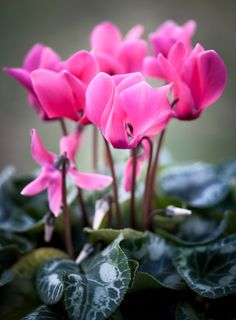 #ciclamini #Cyclamen For Mum photo by Robert Rath