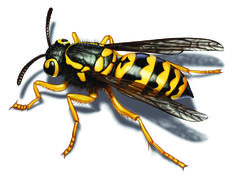 Yellow Jacket Facts & How To Get Rid of Yellow Jackets
