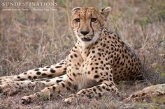 Lone cheetah rests during the heat of the day. The Klaserie Private Nature Reserve is the perfect place for a big cat safari.  http://www.nthambo.com/  #bigcats #cheetahs #nthambotreecamp #safari #africa #kruger
