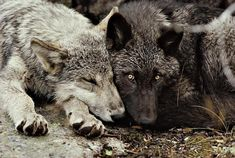 Wolves in love.