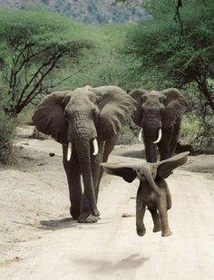 Dumbo fly