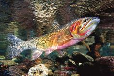 Westslope Cutthroat Trout in the Upper Blackfoot in MT