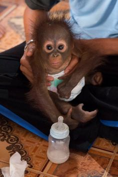 Infant Orangutan Clings To Rescuers' Hands After Being Found Alone - The Dodo